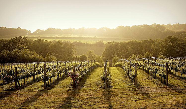 Södra England, vingård