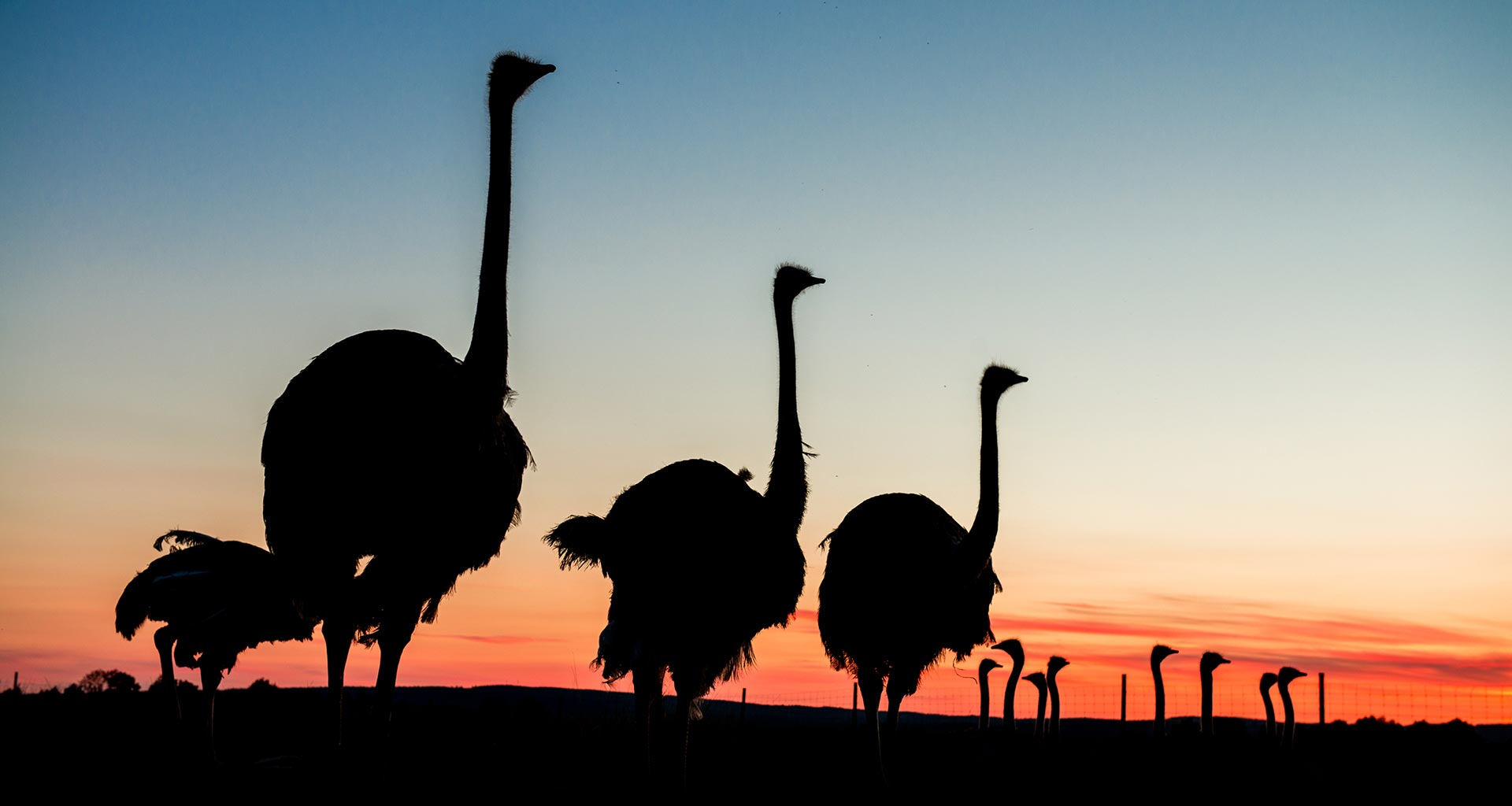 Sahlins Struts - strutsar solnedgång
